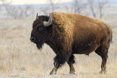Wild North American Bison Stock Images