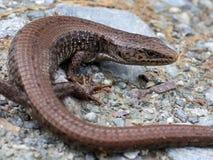 Wild Northern Alligator Lizard Stock Images