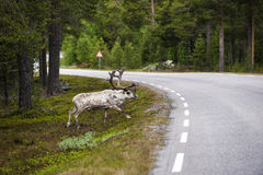 Wild northern deer crossing the asphalt forest road, Norway Royalty Free Stock Photos