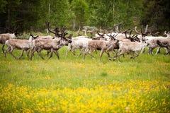 Wild northern deers crossing the flower field, Norway. Wild northern deers crossing the yellow flower field, Norway Royalty Free Stock Images