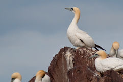 Wild northern gannet Stock Image
