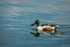 Wild northern shoveler, white and brown male duck stock photos