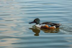 Wild northern shoveler, white and brown male duck stock images