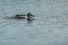 Wild northern shoveler, white and brown male duck royalty free stock photo