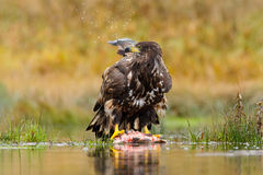 Wild Norway. White-tailed Eagle, Haliaeetus albicilla, feeding kill fish in the water, with brown grass in background. Wildlife sc Royalty Free Stock Photography