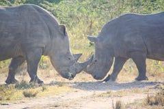 wild noshörning arkivfoto