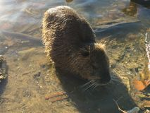 Wild nutria Lake Marion. A wild nutria feeding on the shores of Lake Biarritz in France Stock Image