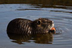 Wild nutria Stock Photos
