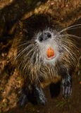 Wild nutria Royalty Free Stock Images