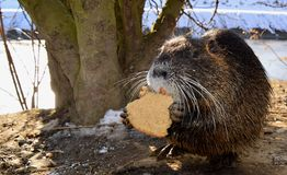 Wild nutria Royalty Free Stock Photo