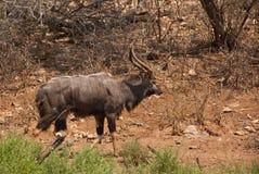 Wild nyala Stock Photo