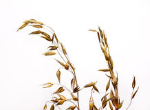 Wild oat. Close look at dried wild oat Royalty Free Stock Image