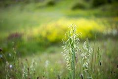 Wild oat , Avena fatua Stock Photography