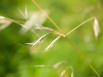 Wild oat avena sativa. In spring Royalty Free Stock Image