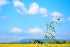 Wild oat closeup Stock Photo