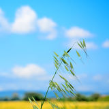 Wild oat closeup Stock Images