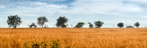 Wild Oat Field with Trees Stock Photo