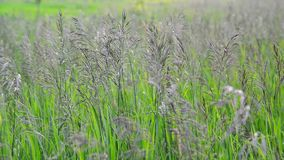 Wild oat grass in field in July stock footage