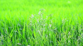 Wild oat grass in field in July on a sunny day. Wild oat grass in a field in July on a sunny day stock video