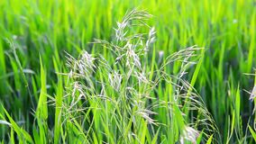 Wild oat grass in field in July on a sunny day. Wild oat grass in a field in July on a sunny day stock footage