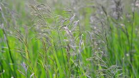 Wild oat grass in field in July stock video footage