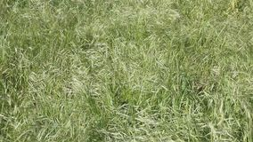 Wild oat grass. Swaying in the wind stock video