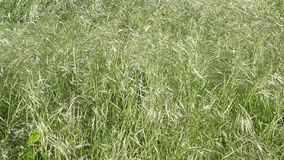 Wild oat grass. Swaying in the wind stock footage
