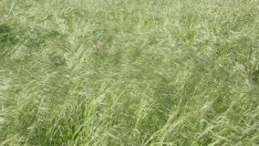 Wild oat grass. Swaying in the wind stock video footage