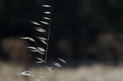 Wild Oats. Close-up of wild oats dry with trees out of focus in the background Stock Photos