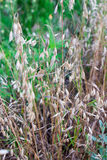 Wild oats background. Brown wild oats background, rustic field plants Royalty Free Stock Image