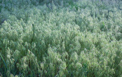 Wild oats background. Green wild oats background, rustic field plants Royalty Free Stock Photos