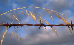 Wild oats and barbed wire. Wild oats grow along a rusty barbed wire. Late afternoon as sun is setting in Toodyay, Western Australia stock image