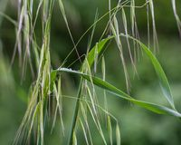 Wild oats Stock Photo
