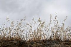 Wild oats dry Stock Image