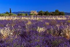 Wild oats growing in Lavender Field Stock Image
