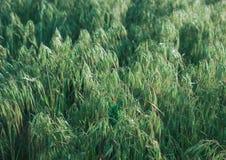 Wild oats meadow. Green wild oats background, rustic field plants Stock Images