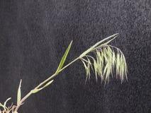 Wild oats in the rain Stock Photos