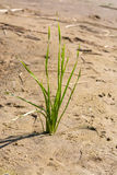 Wild oats on sandy beach. Wild herbs and trace on the sand Stock Photos