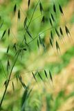 Wild oats. Growing on the roadside from spring to Stock Images