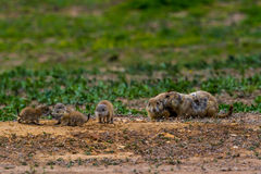 Wild Oklahoma Prairie Dogs in Intense Communications. Stock Images