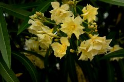 Wild Oleander (Nerium o.) Stock Image