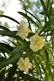 Wild Oleander (Nerium o.) Royalty Free Stock Images