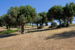 Wild Olive Grove. Trees in wild olive grove stock photography