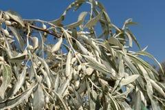 wild olive trees för filial Arkivbild