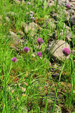 Wild onion. Royalty Free Stock Images