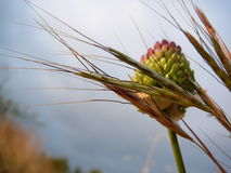 Wild Onion Stock Photos