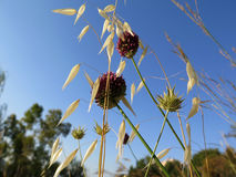 Wild Onion and oats Stock Image