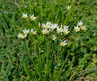 Crow Poison blooming. Bunch of Crow Poison.  A plant easily mistaken for meadow garlic Stock Photo
