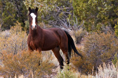 Wild Open Range Horse Royalty Free Stock Images