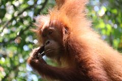 Wild Orang Utan in the jungle stock photos